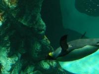 Tauchender Pinguin
