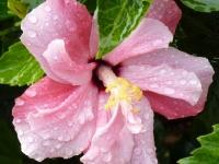 Hibiscus am Wegesrand