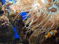 Clownfische achen jedes Aquarium bunter