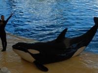 Ein Orca ganz nah