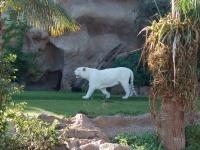 Ein einsamer weißer Tiger dreht seine Runden