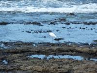 Reiher am Strand von Las Americas